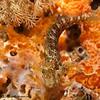 SeaweedBlenny-P8082067-Edit