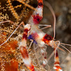 Coral-BandedShrimp-P8082069-Edit