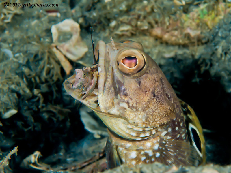 Jawfish,_unknown-P8092309-Edit-Edit