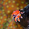 TeardropCrab_DSC5119-Edit