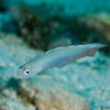 HoveringGoby_MG_9967-Edit