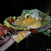 SharpnosePuffer_DSC5131-Edit