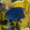 Yellowtail Damselfish - Juvenile