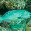 Redtail Parrotfish ???