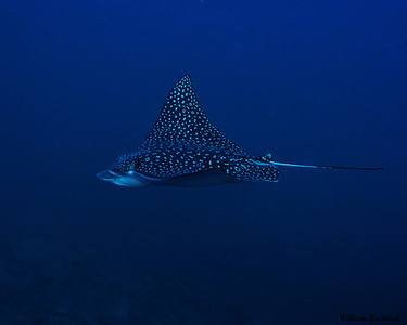 Spotted Eagle Ray at Stetson Bank