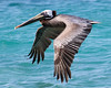 Pelican Over a Turquoise Sea in Bonaire