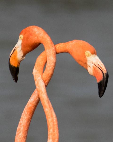 Flamingo Love Affair, Bonaire