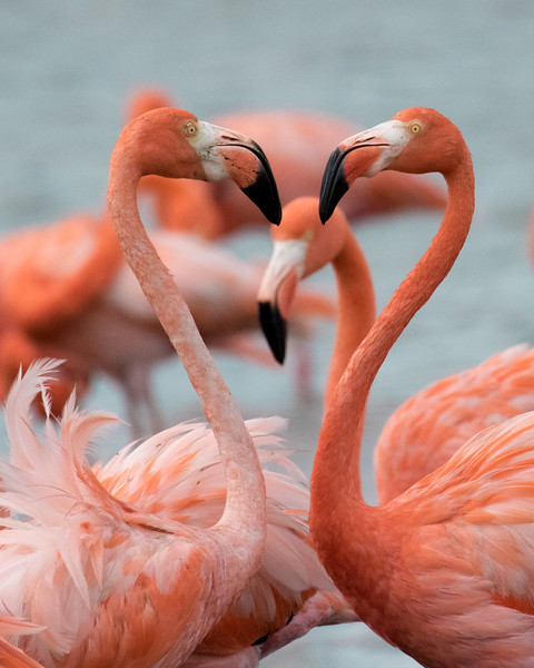 Flamingo Heart, Bonaire