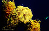 LONGLURE FROGFISH - Can change color to blend with background. Often rest on look-alike sponges; use a lure to attract fish for food