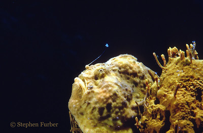 LONGLURE FROGFISH - Lure is obvious against black background. Often rest on look-alike sponges; use a lure to attract fish for food