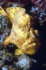 LONGLURE FROGFISH - Notice the lure projecting forward