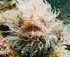 Hairy frogfish.