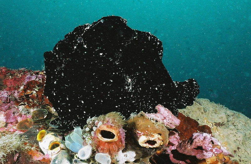 Giant frogfish.