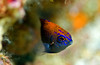 Ring Tailked Damselfish