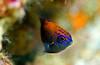 Ring Tailked Damselfish