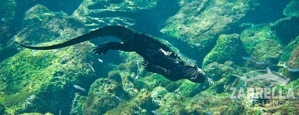 Marine Iguana (San Cristobal, Galapagos)