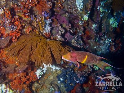 Mexican Hogfish (Diving at Kicker Rock) (San Cristobal, Galapagos)