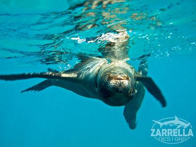 Playful Sea Lion (San Cristobal, Galapagos)
