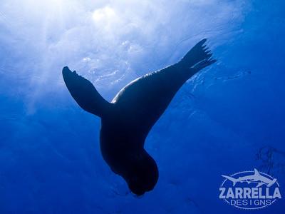 Sea Lion Silhouette  (San Cristobal, Galapagos)