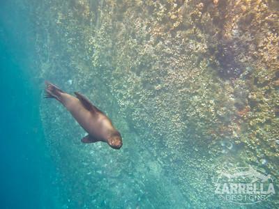 Sea Lion swimming at Kicker Rock  (San Cristobal, Galapagos)