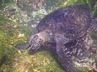 Sea Turtle Grazing on Algae (San Cristobal, Galapagos)