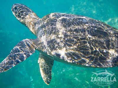 Endemic Black (Green) Sea Turtle (San Cristobal, Galapagos)