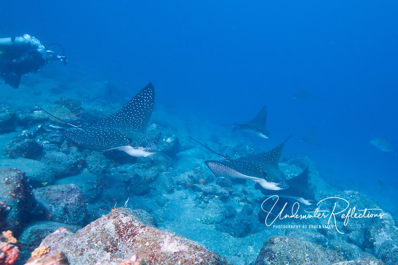 Squadron of spotted eagle rays gliding along the rocks.
