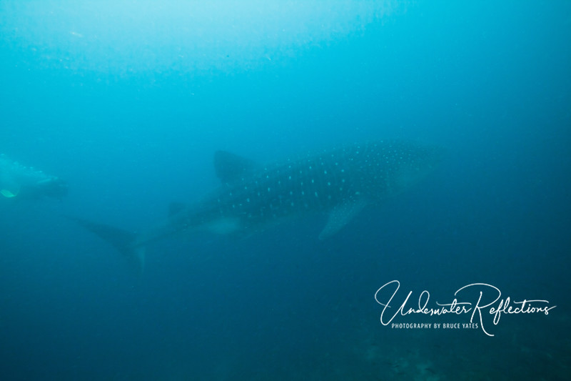 Mr. Big -  the largest fish in the ocean.  Whale sharks frequent the Galapagos to feed on plankton.  This 30-35-foot whale shark was the first I've ever seen, so I was very excited (FINALLY!), even though he only stayed for a few seconds and I didn't get any great photos in the murky water.  Sometimes the subject matter is compelling enough that it's OK just to document the fact that you were there, and this is one such case!   Note: the diver at left provides a sense of scale.