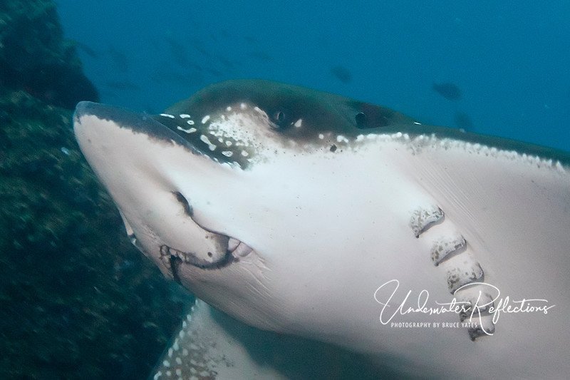 Spotted eagle ray head (Galapagos).  You can see that his nose and mouth are suited for hunting mollusks and other small critters in the sand.