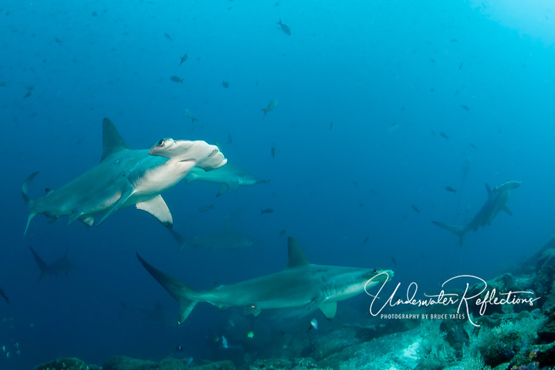 "Perhaps due to the unusually cool water temperatures (in the 50's and 60's on many dives), hammerheads were often level with or even above us, sometimes at depths of only 30-40 feet.  You can see from the front of the head why this species is called ""scalloped"" hammerhead."