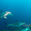"""Perhaps due to the unusually cool water temperatures (in the 50's and 60's on many dives), hammerheads were often level with or even above us, sometimes at depths of only 30-40 feet.  You can see from the front of the head why this species is called """"scalloped"""" hammerhead."""