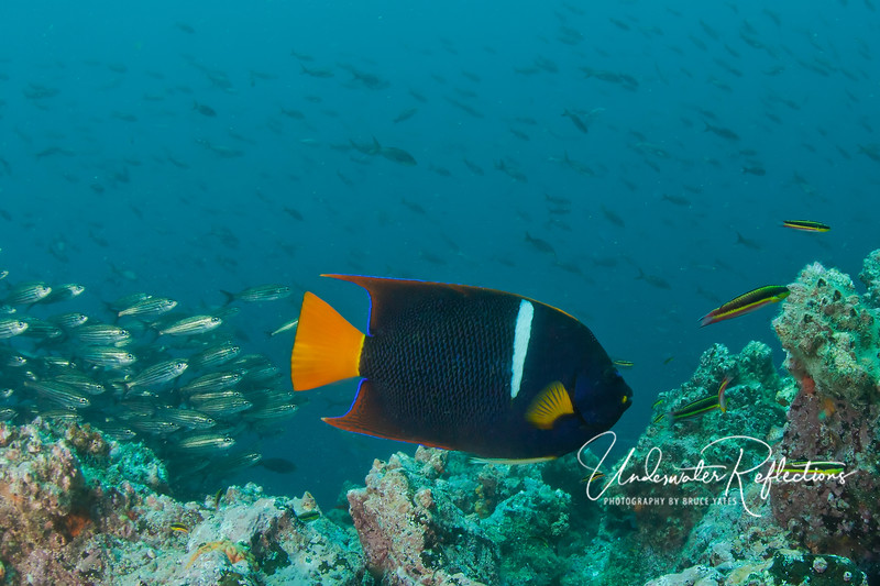 King angelfish.