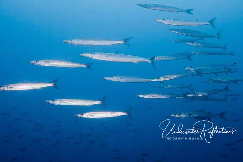 School of pelican barracuda, presumably so named because their bottom lip juts out.  As with schooling hammerhead sharks, schooling barracuda are not dangerous to divers.