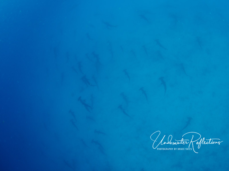 Looking like tadpoles, this school of hammerheads shows up well against the sandy bottom.
