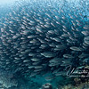 Another highlight of the trip was getting to swim with/through a school of thousands of black-striped salema, 4-5 inch fish upon which sea lions, dolphins, tuna and other fish prey.