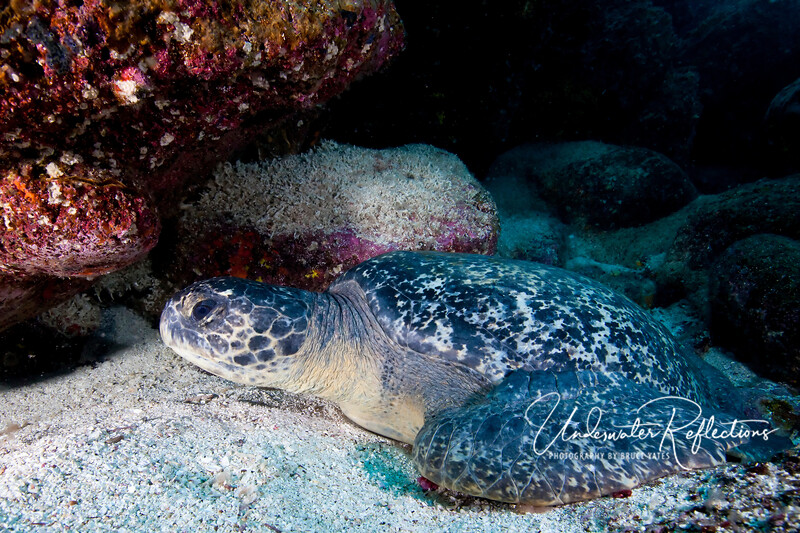 Green turtles were seen on almost every dive.  This fellow is resting among the rocks.