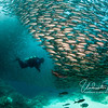 Swimming through this school of salema was a great experience - they would part and shift around you like a living wall of fish. (Galapagos)