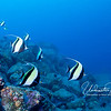 Moorish idols, always one of my favorite fish, are found all over the world.