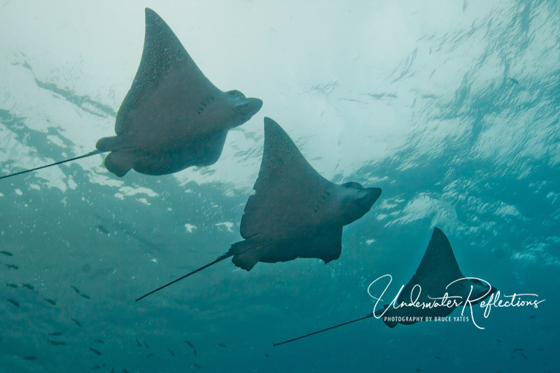 "You can see why they call it a ""squadron"" of spotted eagle rays, can't you?"