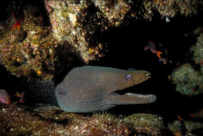 A large Fine-spotted Moray Eel slithers from a crevice on Wolf Island in the Galapagos.