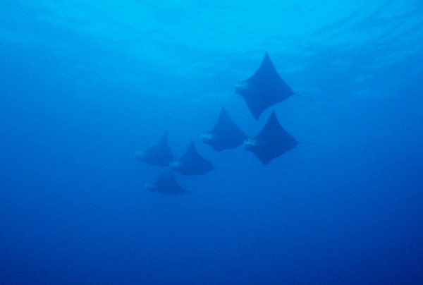 A squadron of Golden Rays sweeps past Gordon Rocks, Galapagos.