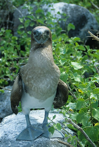 A juvenile Masked Booby stands unafraid before the camera.