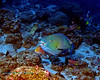 Bicolor Parrotfish 2