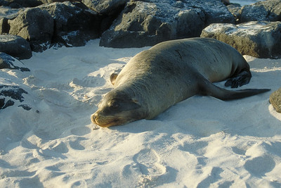 A Sea Lion basks in the late afternoon sun on North Seymour Island, Galapagos.