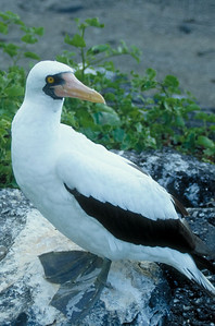 A Masked Booby on Hood Island in the Galapagos.