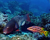 Bicolor Parrrotfish 1