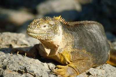 A Land Iguana appears to be a creature out of prehistoric times.