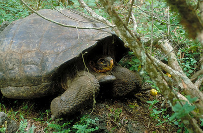 The Giant Tortoise is endemic to Santa Cruz Island in the Galapagos.