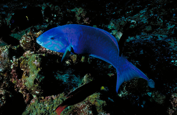 A brilliantly colored Parrotfish at Wolf Island, Galapagos.