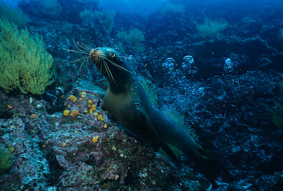 Cavorting Sea Lion at Champion, Galapagos.